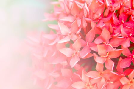 abstract blur background of red Ixora in garden