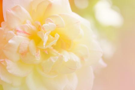 de focused: blur photo de focused of white rose in color filter