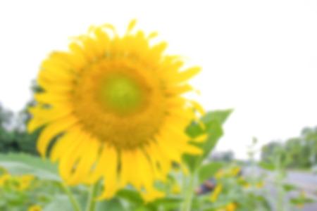 de focused: blur photo de focused of bright yellow sunflower