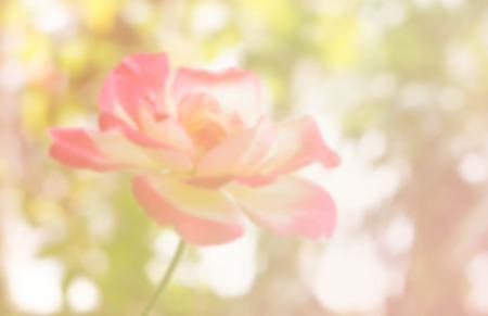 de focused: blur photo de focused of rose in color filter Stock Photo