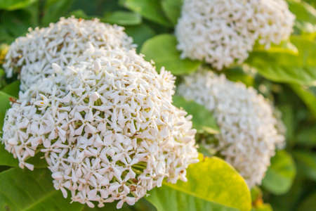 gree: white Ixora with gree leaves