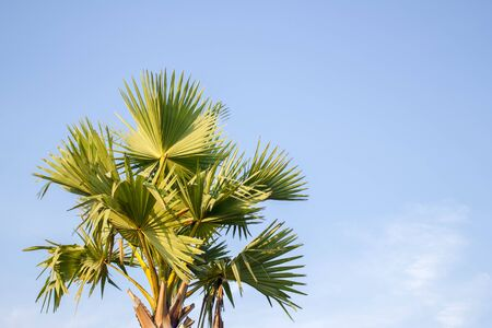 cambodian palm: Asian Palmyra palm, Toddy palm, Sugar palm, Cambodian palm on blue sky background