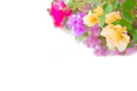 de focused: abstract de focused of bougainvillea, paper flowers : for background use