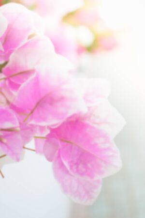 de focused: abstract de focused of bougainvillea, paper flowers Stock Photo