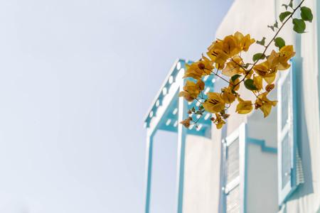 de focused: orange bougainvillea, paper flowers on background of blue window de focused Stock Photo