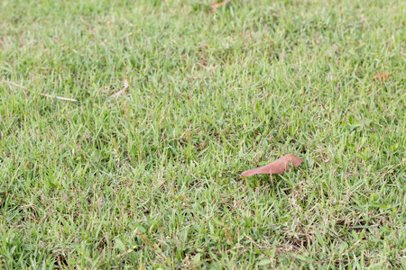 dried leaf: green grass texture background with red dried leaf Stock Photo