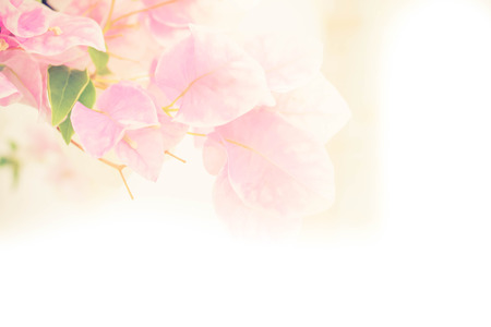 pink floral: abstract de focused of bougainvillea, paper flowers in soft pink tone Stock Photo