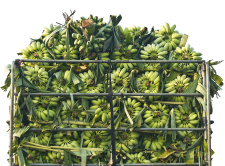 bunched: bunch of unripe bananas on the truck Stock Photo