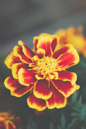 blurred yellow and red  flower in the garden