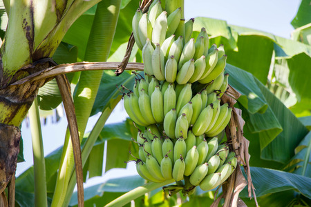 bunch of green growing raw bananas on tree in bananas farm Stock Photo