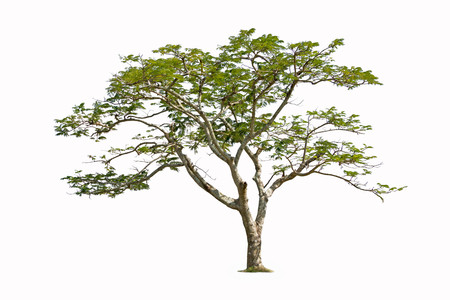Flam-boyant, The Flame Tree, Royal Poinciana isolated on white background