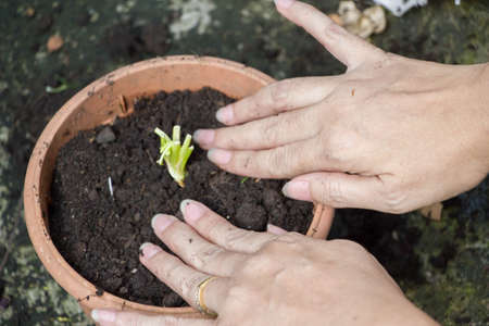 woman plant root of vegetable tree in pot after use its leaf  and trunk making food