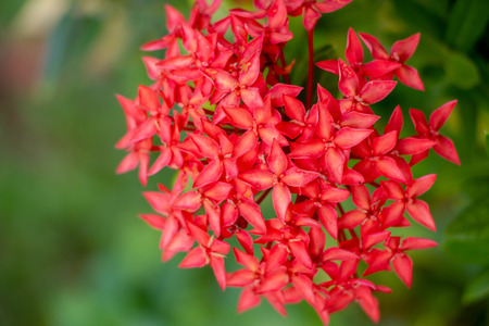 ixora coccinea flower or Red spike flower blooming in the garden with natural background.
