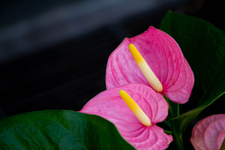 pink flamingo flower on black background 写真素材