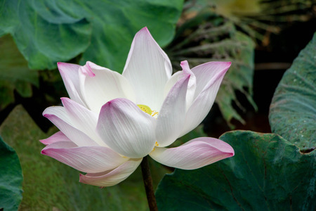Lotus flower in the pond with background of green leaf 写真素材