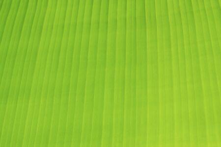 natural green fresh banana leaf background 写真素材 - 125694905