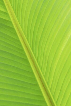 natural green fresh banana leaf background 写真素材 - 125694906