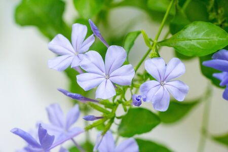 Plumbago ,leadwort,Ceratostigma, flowering plants in the family Plumbaginaceae, native to warm temperate to tropical regions of the world
