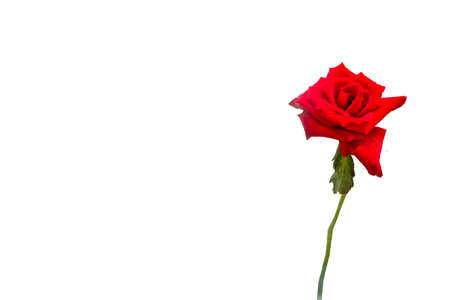 single beautiful red rose with green leaf on white background 写真素材