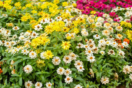 fresh colorful daisy in the garden