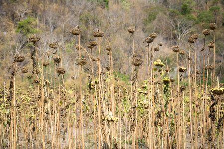 droop: Sunflower Droop