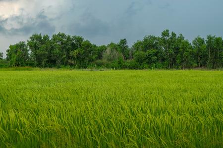 Rice Field in Thailand Standard-Bild