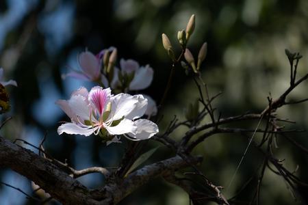Bauhinia variegata White Mountain Ebony Stock Photo