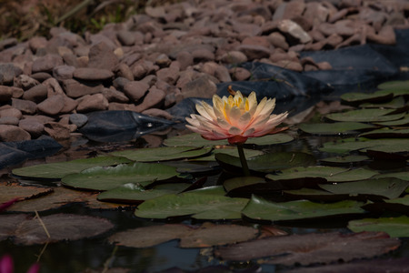 Single pond lily with gravel background