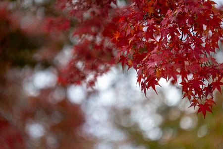 Red Maple leaves with bokeh 写真素材