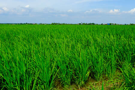 Selective focus of young Jasmine paddy plant in field at Sekinchan in the evening. They produce high quality Jasmine rice with high number of export.