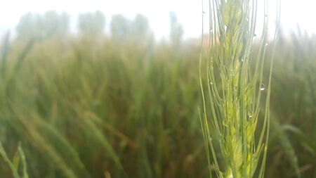 Closeup view of barley spikelets or rye in barley field. Green dried barley focused in large agricultural rural wheat field.