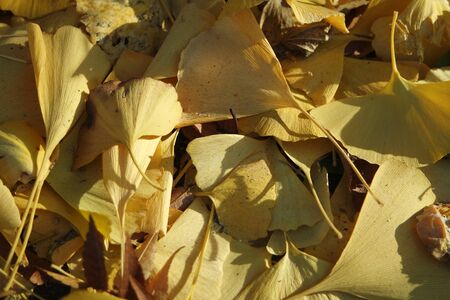 Ginkgo golden leaves on a grey color ground in autumn season. Autumn background Archivio Fotografico