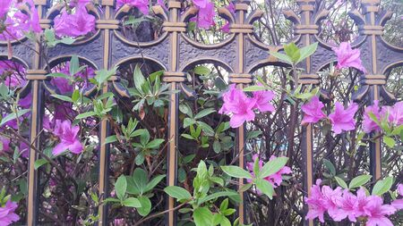 Close up view of several pink flowers with pink petals across metal bars in spring season. A flower background for text and love messages Stock fotó