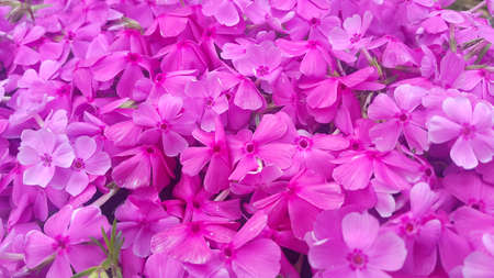 Close up view of several pink flowers with pink petals in spring season. A flower background for text and love messages
