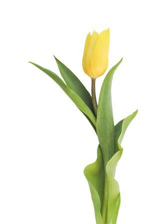Yellow tulip isolated on white background.