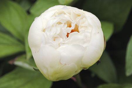 White peony bud Stock Photo
