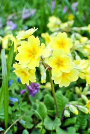 Yellow high primrose  Primula elatior Hill