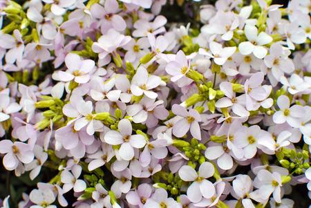 Pink sicklepod Arabis x arendsii Wehrh. Rosabella