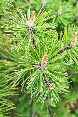 pine Mountain Pinus mugo Turra