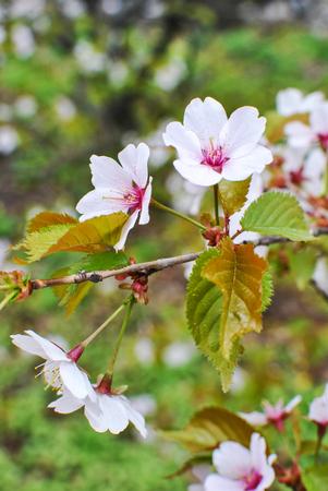 Branch of japanese sakura blossoms Prunus serrulata Stock Photo