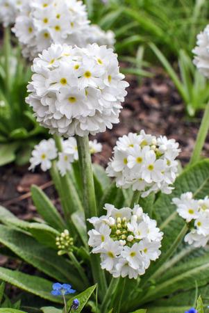 White primroses Primula denticulata Alba Stock Photo