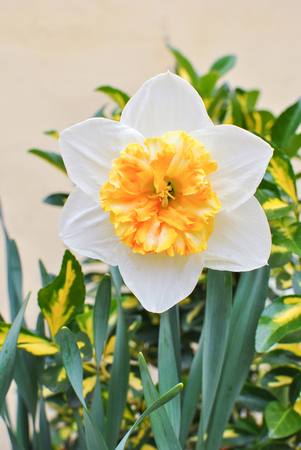gentle: White narcissus gentle giant