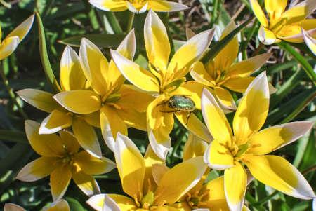 Bed of yellow-white tulips Tulipa tarda and green beetle