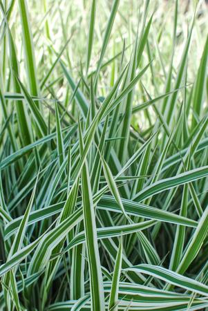 Reed canary grass gardeners-garters Phalaroides arundinacea