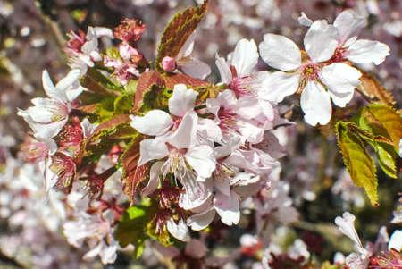 Brunch of pink blooming sakura Stock Photo