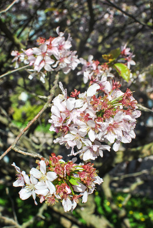 Brunches of blooming sakura tree Stock Photo