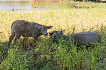 grassplot: Small buffalo with his father in the rice field Stock Photo
