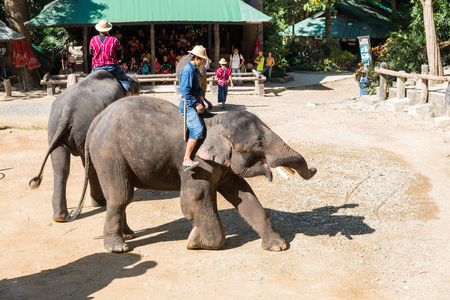 mahout: CHIANGMAI THAILAND 03 DEC 15 elephant Showing at The young Elephant school on 03 December, 2015 in Chiangmai, THAILAND Editorial