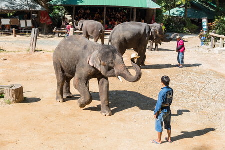 mahout: CHIANGMAI THAILAND 03 DEC 15 elephant showed at The Maesa elephant camp on 03 December, 2015 in Chiangmai, THAILAND