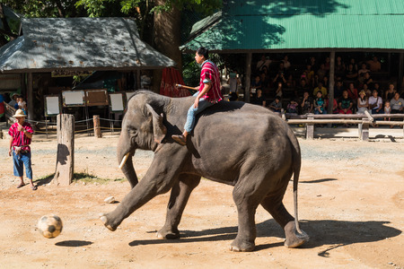 CHIANGMAI THAILAND 03 DEC 15 elephant playing and kicking football at The Maesa elephant camp on 03 December, 2015 in Chiangmai, THAILAND Editorial